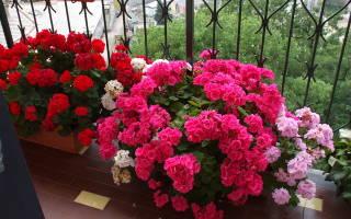 До какой температуры можно держать цветы на балконе